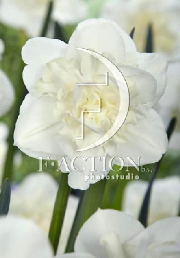 Narcissus Easter Born Нарцисс Истер Борн NEW