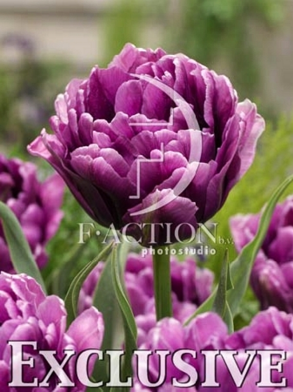 Tulipa Color Burst Тюльпан Колор Бёрст NEW