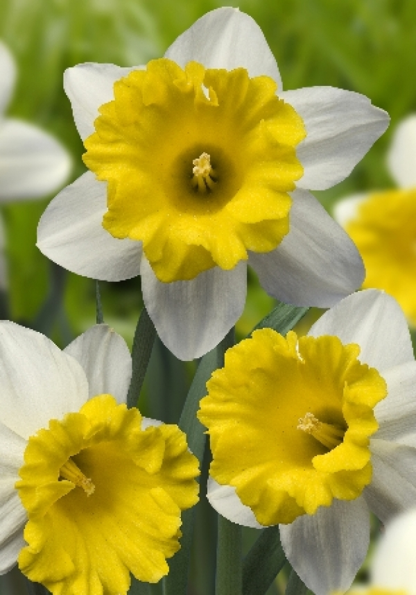 Narcissus Wisley Нарцисс Уизли