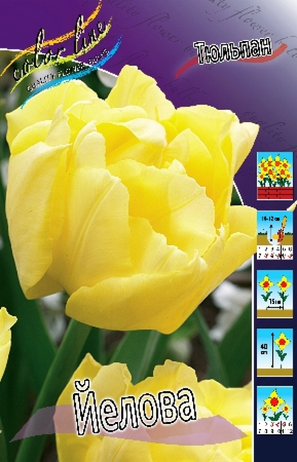Tulip Yellowa Тюльпан Йелова