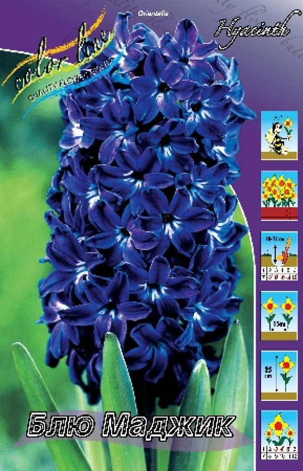 Hyacinth Blue Magic Гиацинт Блю Маджик