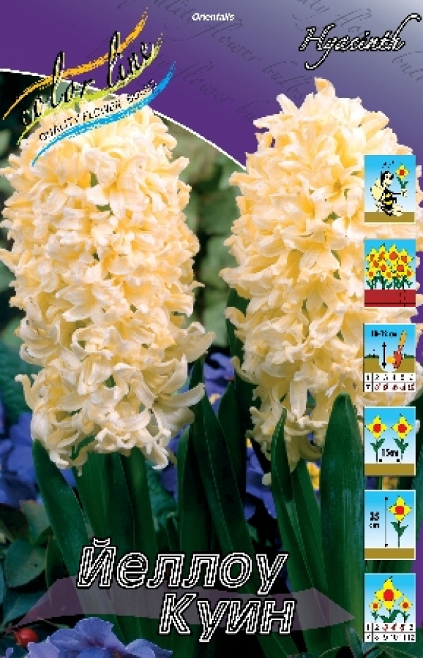Hyacinth Yellow Queen Гиацинт Йеллоу Куин