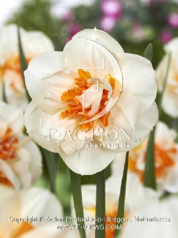 Narcissus Fragrant Spring Нарцисс Фрагрант Спринг NEW