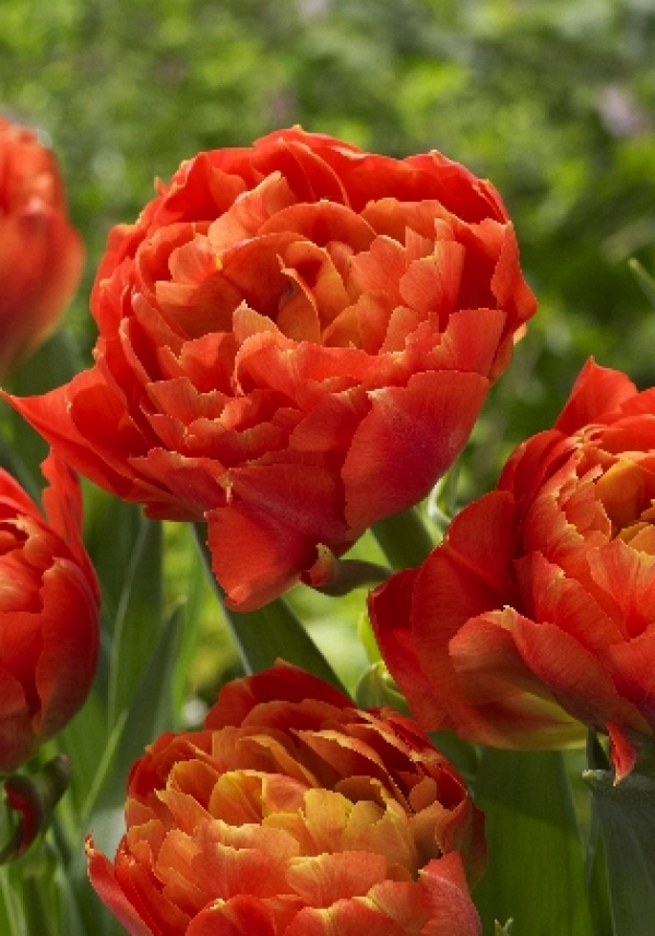 Tulipa Dutch Monarch Тюльпан Датч Монарх NEW