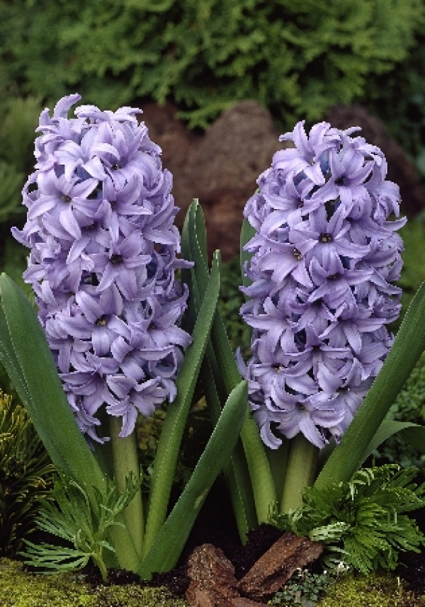 Hyacinth Blue Giant Гиацинт Блю Джиант