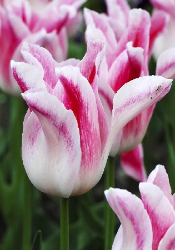 Tulipa Holland Chic Тюльпан Холланд Шик