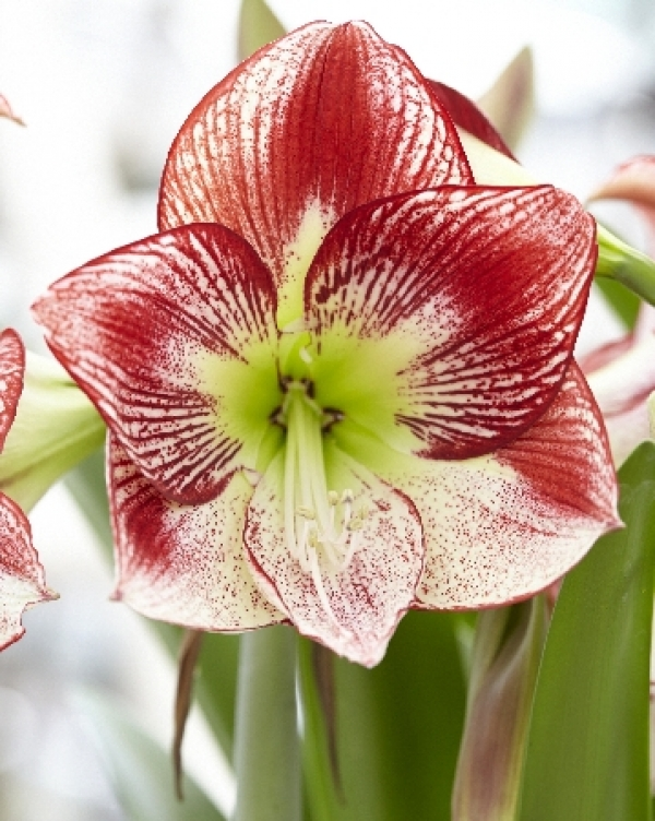 Hippeastrum Flamenco Queen Амариллис Фламенко Куин