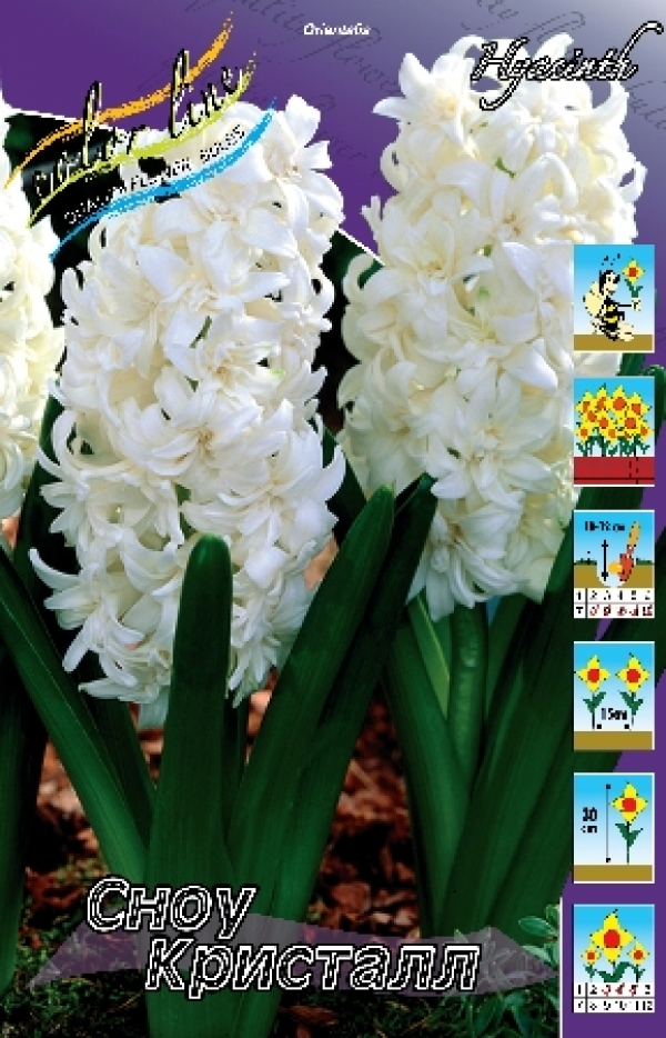 Hyacinth Snow Crystal Гиацинт Сноу Кристал