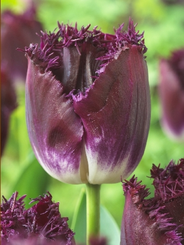 Tulipa Purple Crystal Тюльпан Пурпл Кристал